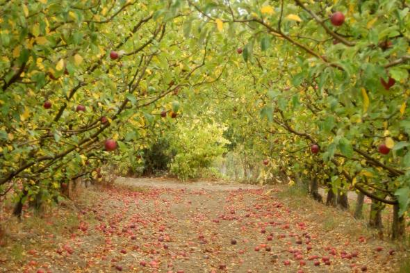 apple in the orchards