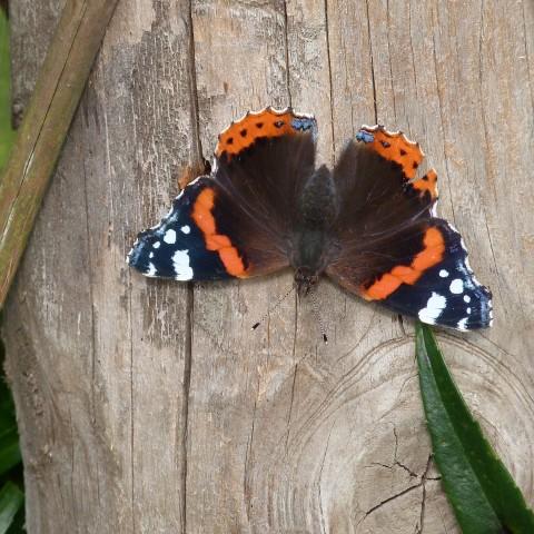 Butterfly_JoA