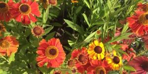 Orange Helianthemums